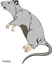 Weer ratten in onze wijk